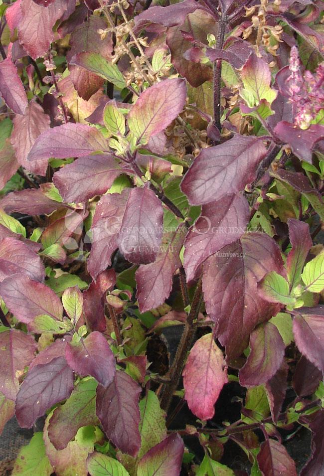 Bazylia święta purpurowa