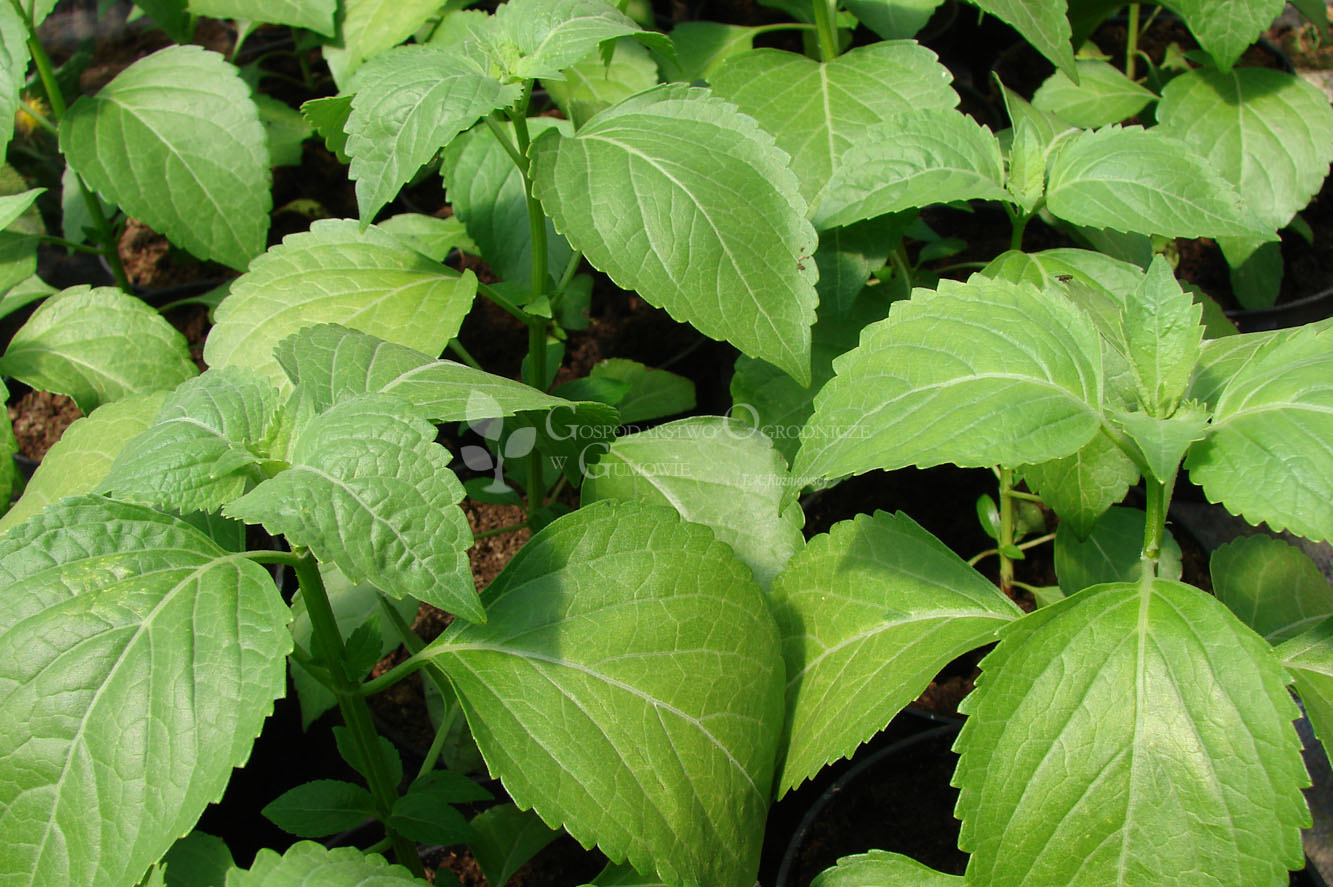 Dzika bazylia, bazylia eugenolowa (Ocimum gratissimum)