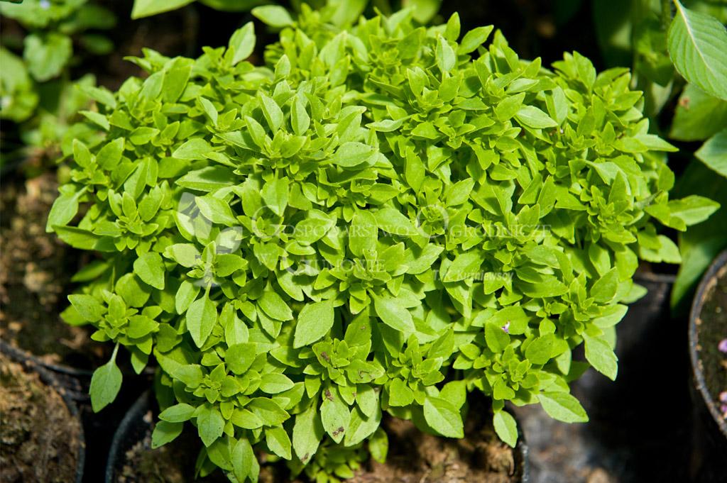 Bazylia grecka (Ocimum basilicum var minimum)