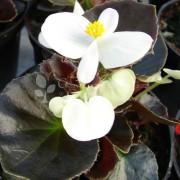 Begonia semperflorens Marsala