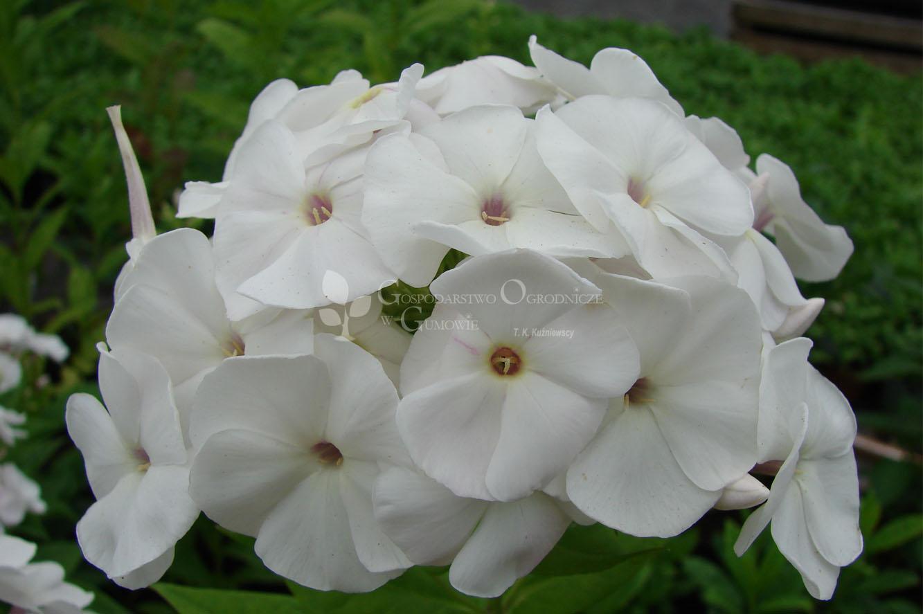 Floks wiechowaty (Phlox paniculata) Adessa White