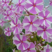 Floks plamisty (Phlox maculata) Natascha