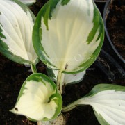 Funkia (Hosta) Loyalis