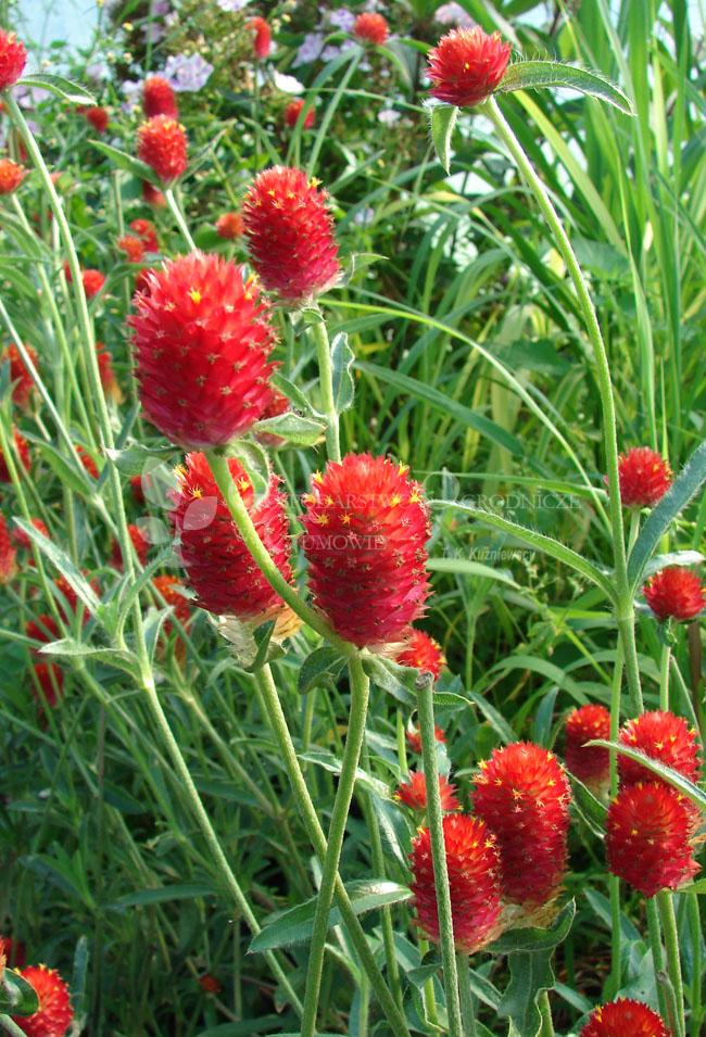 Gomfrena kulista tajska (Gomphrena globosa) Suger Berry