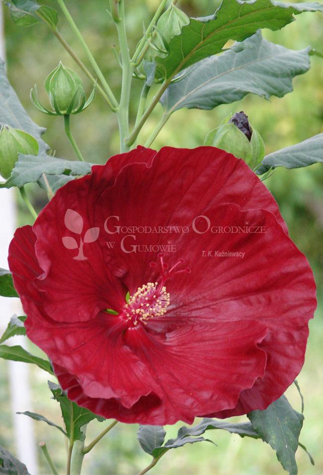 Hibiscus bylinowy