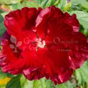 Hibiscus bylinowy (Hibiscus moscheutos) Cranberry Crush
