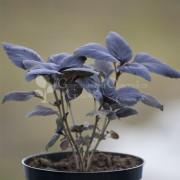Bazylia czerwona (Ocimum basilicum purpurascens)