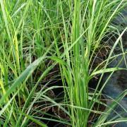 Rozplenica japońska (Pennisetum alopecuroides) Hameln