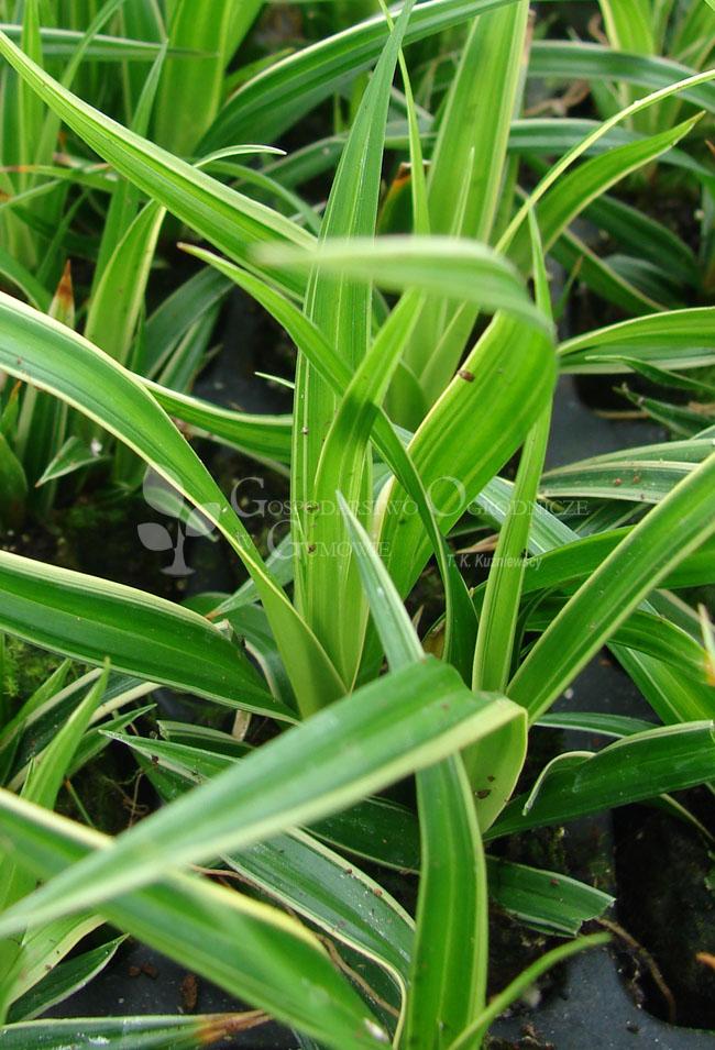 Turzyca japońska (Carex morrowii) Ice Dance