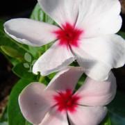Barwinek różowy (Catharanthus roseus)