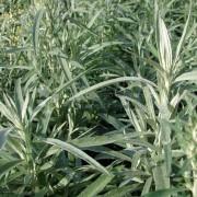 Bylica luizjańska (Artemisia ludoviciana) Silver Queen