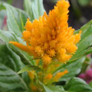 Celozja srebrzysta (Celosia argentea)