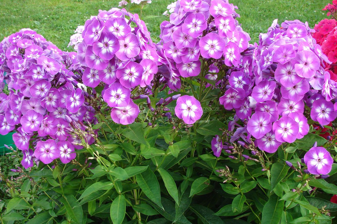 Floks wiechowaty (Phlox paniculata) Adessa Purple Star
