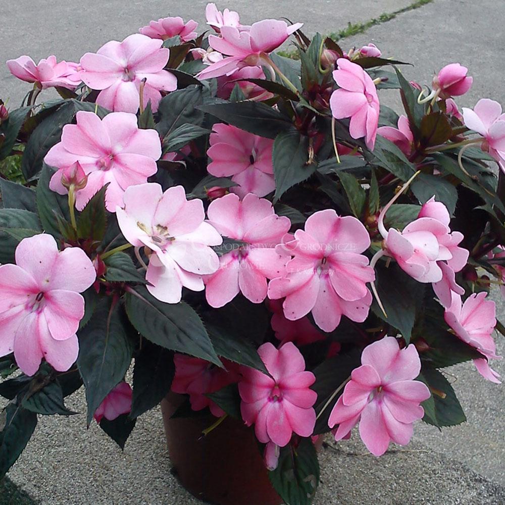 Niecierpek Sunpatiens Compact Blush Pink Sadzonka Gospodarstwo