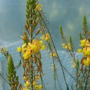 Bulbine krzewiasta (Bulbine frutescens) – sadzonka