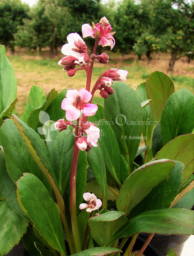 Bergenia Angel Kiss