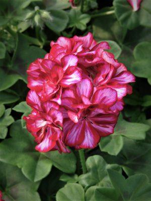Pelargonia bluszczolistna (Pelargonium peltatum) Ivy Arctic Rose