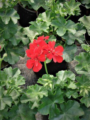 Pelargonia bluszczolistna (Pelargonium peltatum) Ivy Red