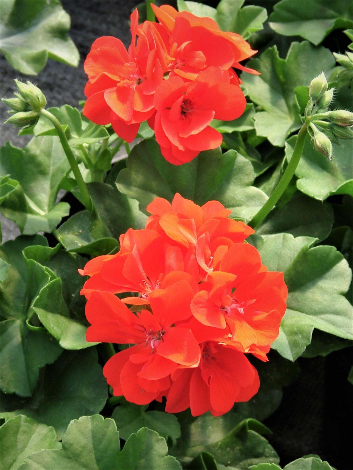 Pelargonia Ivy Scarlet