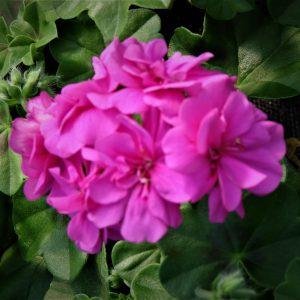 Pelargonia bluszczolistna (Pelargonium peltatum) Ivy Violet