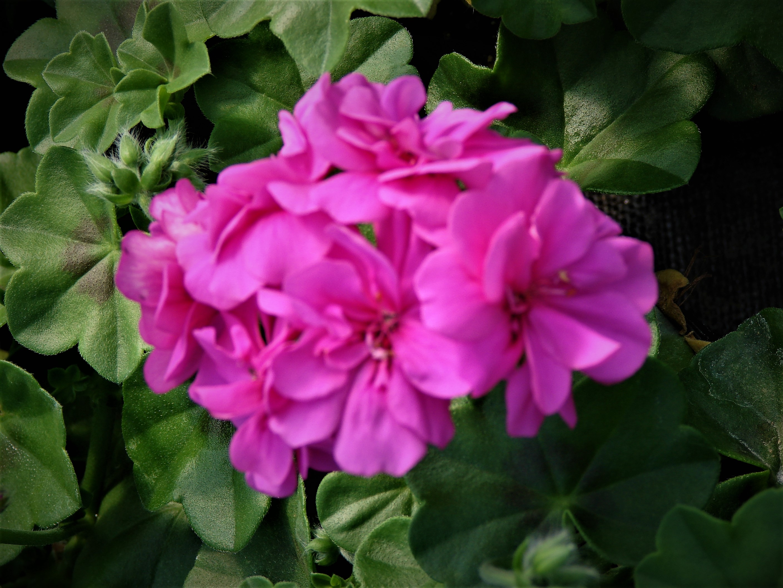 Pelargonia Ivy Violet