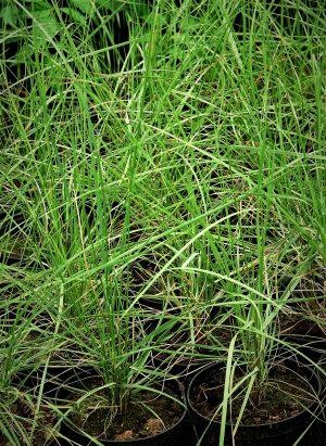 Trawa włosowata różowa (Muhlenbergia capillaris)
