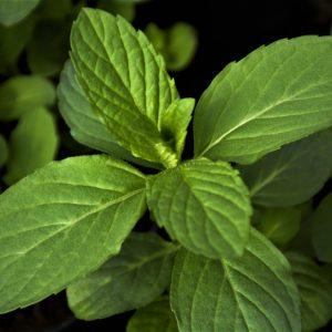 Mięta japońska (Mentha spicata) Abura