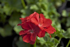 Pelargonia bluszczolistna (Pelargonium peltatum) Sunflair Paula Red
