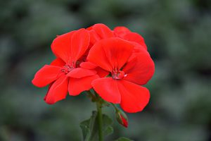 Pelargonia rabatowa (Pelargonium zonale) Smart Senna Red