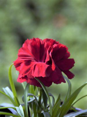 Goździk ogrodowy (Dianthus caryophyllus) Sunflor Dynamite - sadzonka