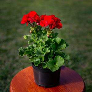 Pelargonia rabatowa (Pelargonium zonale) Classic Red Pepper