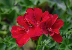 Pelargonia bluszczolistna (Pelargonium peltatum) Grandeur Ivy Deep Red
