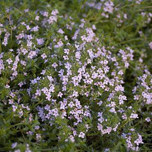 Tymianek angielski (Thymus 'Broad-Leaf English')