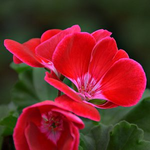 Pelargonia rabatowa Dolce Vita Red Eye (Kiss)