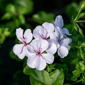 Pelargonia bluszczolistna (Pelargonium peltatum) Gerainbow White