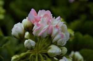 Pelargonia rabatowa (Pelargonium zonale) Grandeur Deco Appleblossom