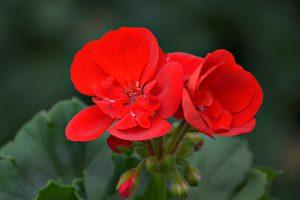 Pelargonia rabatowa (Pelargonium zonale) Grandeur Classic Bright Red