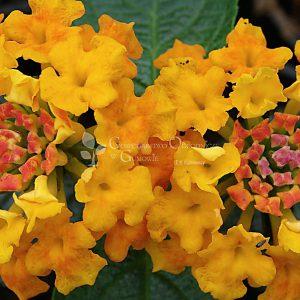 Lantana pospolita (Lantana camara) Yellow