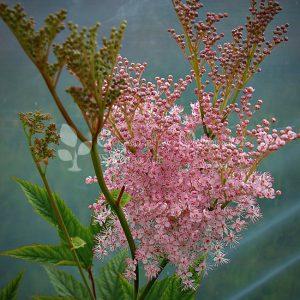 Wiązówka błotna różowa (Filipendula ulmaria)